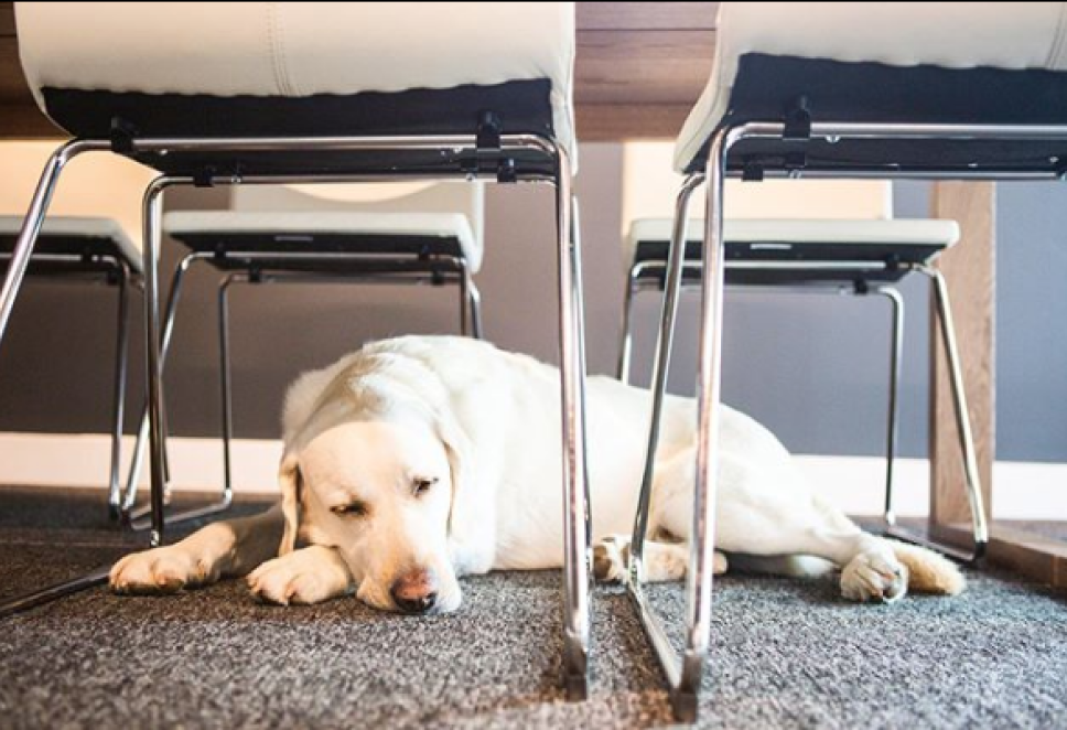 Poolhouse office pup laying underneath a desk